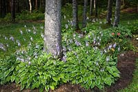 Picea - Spruce Trees underplanted with mauve flowering Hosta plants in garden border in backyard Country garden in summer, Jardin des Mesanges garden, Quebec, Canada