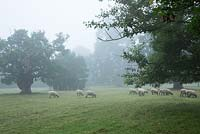 Sheep graze in the Meadow around Highgrove. Some of the trees around Highgrove date back to 1680. September 2013.
