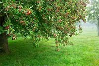 Crab apples, in the Lower Orchard, Highgrove Garden, September 2013. Apples in the orchard are completely organic.
