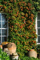 Pyracantha - Firethorn, growing on a wall of Highgrove House, Ocotber 2013