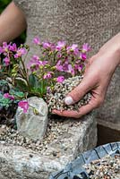 Practical step-by-step guide to planting a stone alpine trough with alpine plants. Once the plants and rocks are firmed into the soil, add a thin layer of grit to the surface. Not only does this act as a foil to the plants, but it also stops leaves from touching the soil, and rotting.