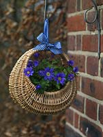 Basket is filled with blue windflowers - Anemone blanda - and suspended from a wall bracket with a blue gingham ribbon.