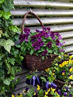 A spring display of hanging baskets with bedding Viola 'Yellow Duet', 'Denim Jump Up' and 'Rasperry' with Clematis 'Francis Rivis' growing in between.