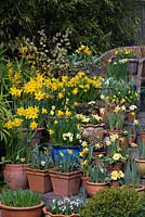 Tiered spring container display - with Narcissus 'Rijnveld's Early Sensation'. N. 'Jetfire' and 'Topolino', N. 'Sweetness' in wooden planter. N. 'Jack Snipe'. Euphorbia martinii 'Ascot Rainbow', violas and primulas.