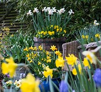 Spring containers including Narcissus 'Sweetness', N. 'Jetfire', N. Rijnveld's 'Early Sensation', Narcissus cyclamineus 'Cotinga', N. 'Jack Snipe', N. 'Cheerfulness', N. 'Double Smiles', N. 'Topolino', N. 'obvallaris', N. 'Bell Song'.