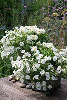 White themed glazed pots planted with white trailing verbena, Dahlietta 'Select Blanca' and white surfinia petunias, a display now establshed for 2 months.