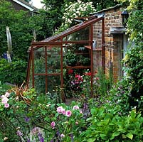 Wooden lean-to greenhouse filled with pelargonium. Outside, rambling rose on wall, delphinium and eremurus.