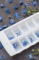 Fresh borage flowers placed in an ice tray.