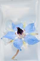Add the borage flowers to the filled ice cube tray.