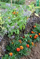 Growing Borage in straw bale underplanted with Tagetes