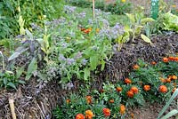 Growing Borage and Sage in straw bale underplanted with Tagetes