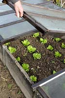 Opening a cold frame to ventilate young salads in autumn