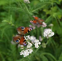 Peacock butterfly - Inachis io is one of the UK's most common garden visitors, searching for nectar on a wide range of flowers, such as yarrow - Achillea millefolium