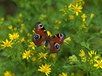 Peacock butterfly - Inachis io is one of the UK's most common garden visitors, searching for nectar on a wide range of flowers, such as ragwort - Senecio jacobaea