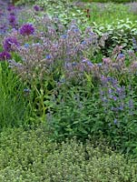 Herbs planted in an informal border, including borage, salvia and thyme.