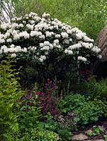 Rhododendron 'Cunningham's White' underplanted with Alchemilla mollis, Azalea, Epimedium and ferns.
