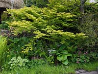 Acer 'Katsura' in a woodland garden underplanted with Primula bulleyana, hosta, ferns and Dicentra.