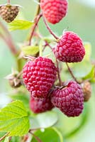 Raspberry 'Polka', a high yielding autumn variety with delicious sweet fruit.