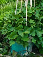 Sweet potato Beauregard thrives in containers, sending out long trailing stems that can be trained up canes.