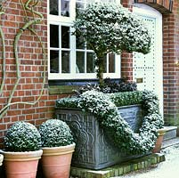 Fresh snow sprinkled on pots of box domes and privett standards in ivy garlanded cistern in front of house.