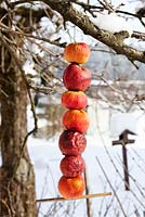 Making an apple bird feeder. Strung apples on wire. Feeder is ready to use.