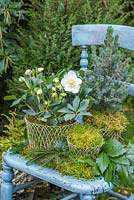 Helleborus niger 'HGC Wintergold' Helleborus Gold Collection, Picea pungens and Moss planted in wire containers, sat on a vintage blue chair with Lithocarpus foliage