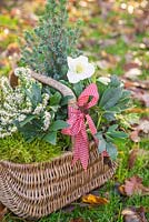 Wicker basket planted with Helleborus niger 'HGC Wintergold' Helleborus Gold Collection, Picea pungens, Erica - Heather and moss, on a garden lawn with autumnal leaves.
