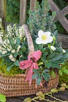 Wicker basket planted with Helleborus niger 'HGC Wintergold' Helleborus Gold Collection, Picea pungens, Erica - Heather and moss, on a garden bench