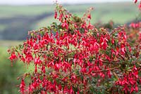 Fuchsia. A cultivar of F. magellanica, F. 'Riccartonii' also known as F. magellanica var. macrostema, a non-seeding widespread naturalised shrub with fatter buds and wider sepals - naturalised in Cornwall as a laneside hedge