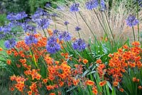 Agapanthus 'Loch Hope', and Crocosmia 'Walberton Bright Eyes' with Chionochloa rubra. September. Foggy Bottom.