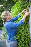 Pruning long new Wisteria shoots from current year's growth in August to maintain shape and encourage more flowers.
