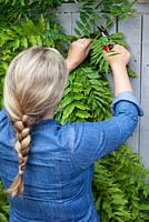 Woman pruning long new Wisteria shoots from current year's growth in August to maintain shape and encourage more flowers.