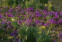 Purple crocus and daffodils in The Meadow, Highgrove Garden, March 2014.