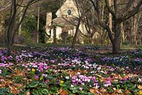 Cyclamen - coum and the Sanctuary in the Arboretum, Highgrove Garden, March 2014