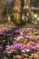 Cyclamen - coum and the Sanctuary in the Arboretum, Highgrove Garden, March, 2014,