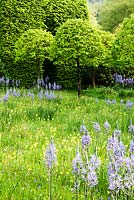 The meadow with avenue of Corylus colurna grown as standards and clipped into lollipops.  Meadow planted with Camassia subsp leichtlinii Caerulea Group and Primula veris - cowslips and Hyacinthoides non scripta. Veddw House Garden, Monmouthshire, Wales. May 2014.