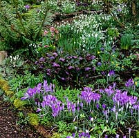Fern and moss flank winter carpet of silvery lilac Crocus tommasinianus, dusky Hellebores x hybridus, snowdrops and winter aconites.
