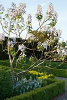 Paulownia tomentosa with Camassia leichtlinii 'Blue Heaven' and box hedges