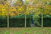 Pleached lime trees and yew hedges in autumn