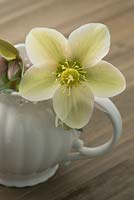 Helleborus x ericsmithii 'Monte Cristo' from Gold Collection in a tea cup