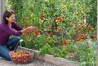 Woman picking tomatoes from plants grown outdoors in a raised bed