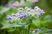 Borago officinalis. Borage