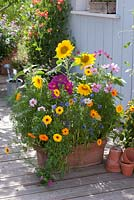 Colorful Summer Flowers Mix 'Moessinger summer' in large terracotta trough container on terrace.  Sown from seed. Helianthus - sunflower, Calendula - marigold, Centaurea cyanus - Cornflower, Cosmos