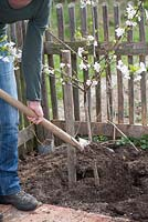 Woman planting Prunus cerasus - sour cherry tree in the garden. Backfilling with soil