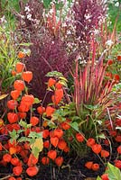 Hot border with Physalis alkekengi, Imperata cylindrica 'Red Baron', Kochia scoparia 'Green Bunch and Gaura