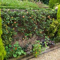 Tall retaining wall up which Cox's apple trees are espaliered.  Conifers add winter structure to each side, heuchera and nasturtium at their feet.