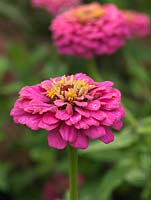 Zinnia elegans 'Giant Dahlia Mix', an annual with pretty flowers in a range of colours.