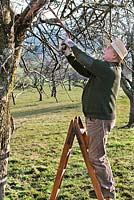 Pruning apple tree branch with a saw.