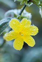 Jasminum nudiflorum. Frosted flower in late autumn