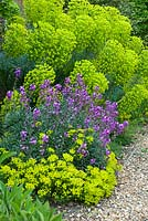 Euphorbia characias subsp. wulfenii with Erysimum 'Bowles Mauve' and Euphorbia cyparrissias 'Fens Ruby'